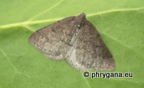 Theria rupicapraria (Denis & Schiffermüller, 1775)