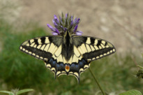 Papilio machaon Linnaeus 1758
