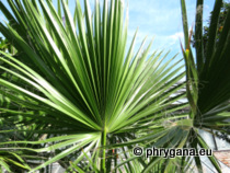 Washingtonia filifera (Lindl.) H.Wendl.