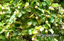Styrax officinalis L., 1753